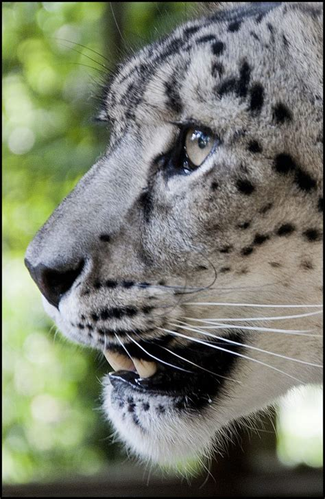 Snow Leopard – Dudley Zoo and Castle