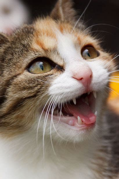 Meowing Cat Free Stock Photo - Public Domain Pictures