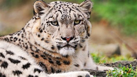 White Snow Leopard Wallpapers | HD Wallpapers | ID #9636