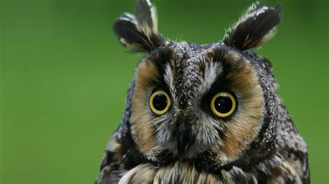 Wallpaper Owl, eagle-owl, funny, nature, plumy, Animals #4075
